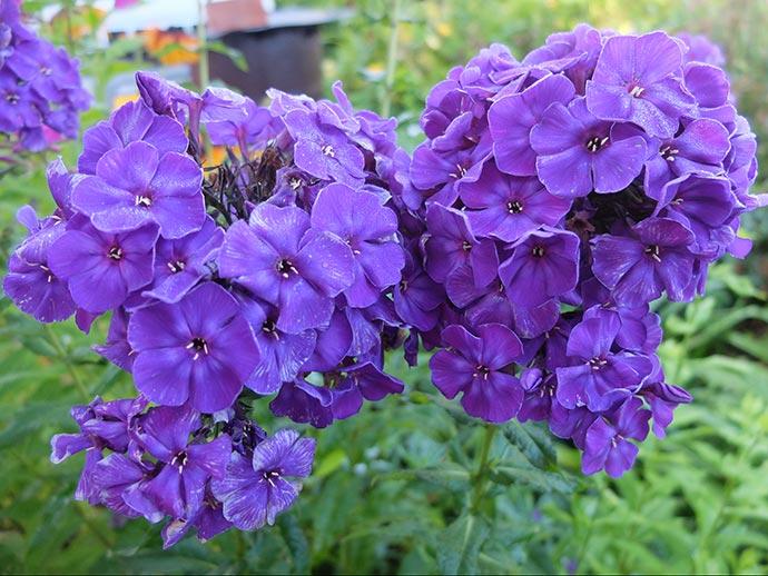 Флокс метельчатый темно-фиолетовый Тайна © blumgarden.ru