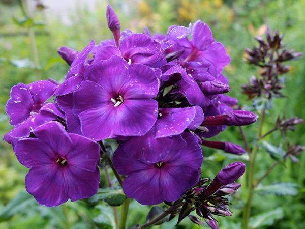 Флокс метельчатый фиолетовый и Румяный © blumgarden.ru