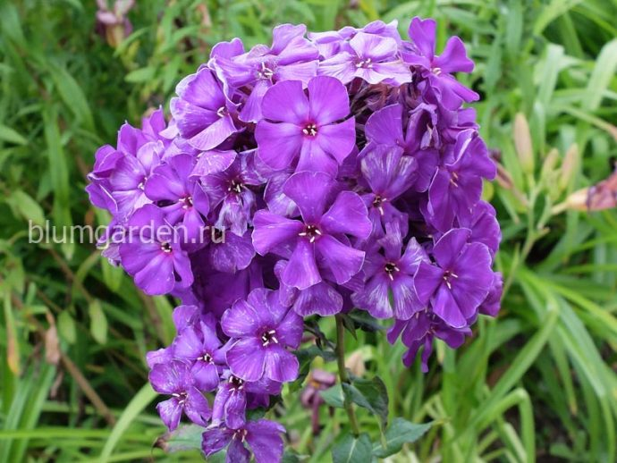 Флокс метельчатый фиолетовый © blumgarden.ru
