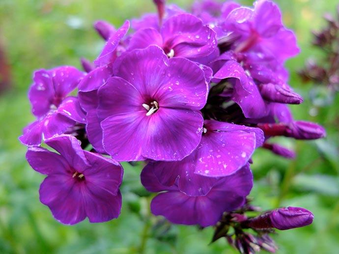 Флокс темно-фиолетовый Тайна в ясную погоду © blumgarden.ru