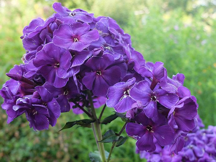 Флокс фиолетовый Тайна © blumgarden.ru