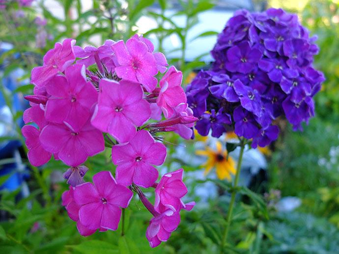 Флокс розовый и темно-фиолетовый © blumgarden.ru