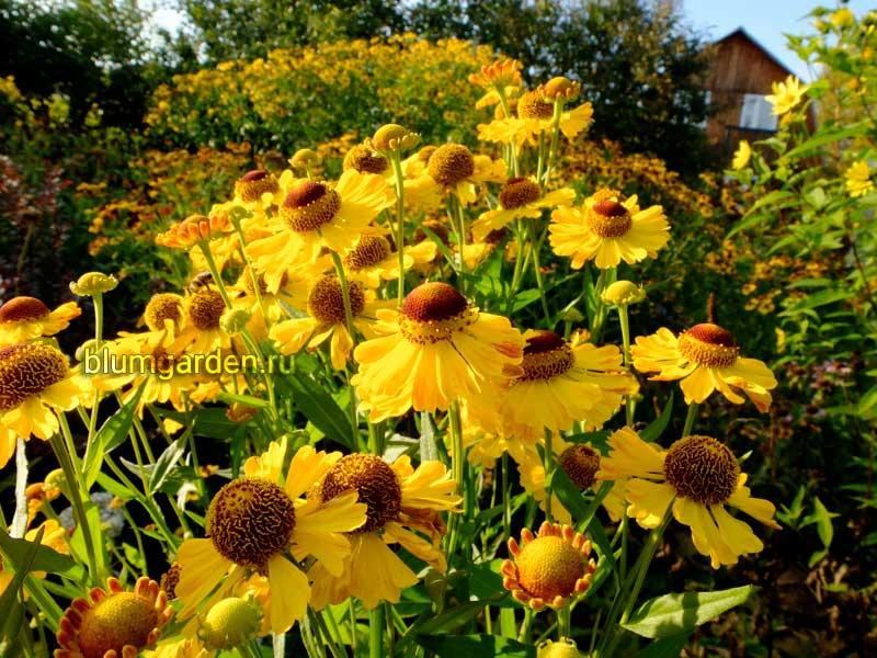Гелениум многолетний желтый в саду © blumgarden.ru