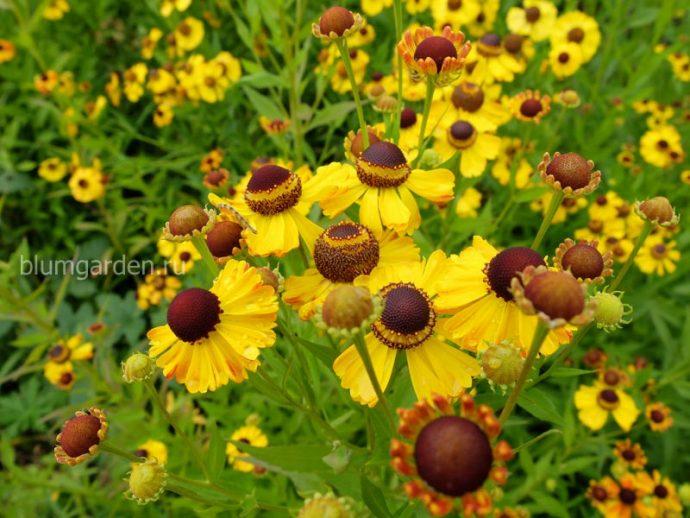 Гелениум многолетний желтый © blumgarden.ru