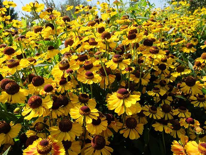 Гелениум желтый осенний © blumgarden.ru