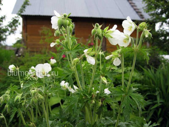 Герань луговая белая (Geranium pratense Album) © blumgarden.ru