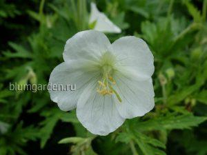 Герань луговая белая (Geranium Pratense Album)