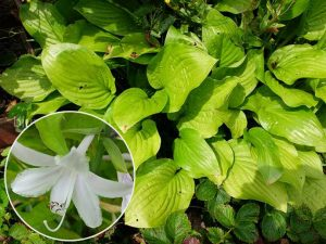 Хоста гибридная «Роял Стандарт» (Hosta Royal Standard)