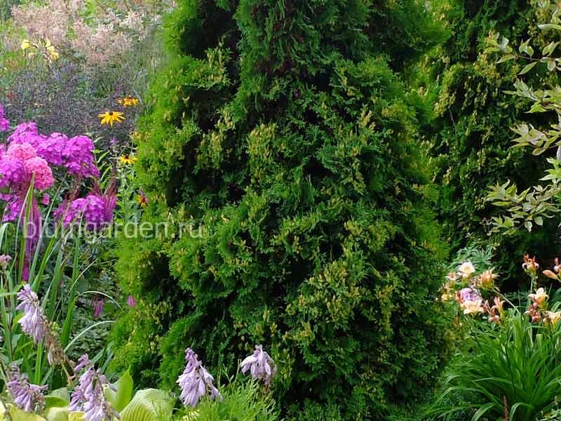 Хвойные растения (крупномеры и саженцы)