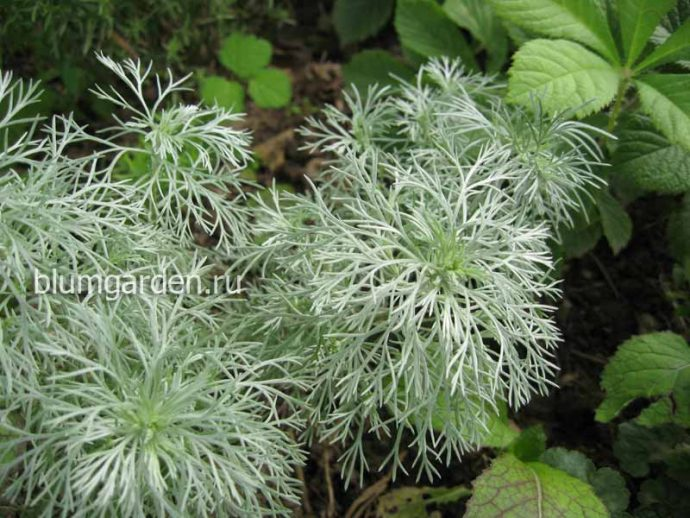 Полынь Шмидта (Artemisia schmidtiana) © blumgarden.ru