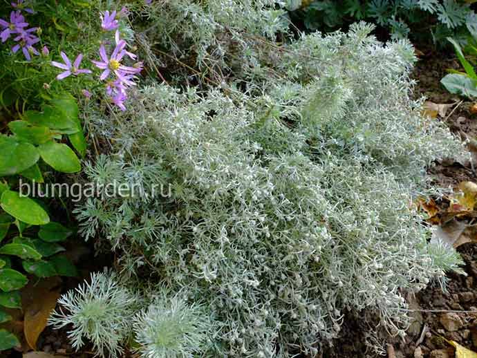 Полынь Шмидта (Artemisia Schmidtiana)