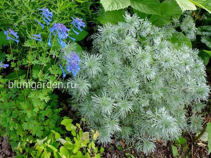 Полынь Шмидта (Artemisia schmidtiana) и хохлатка высокая © blumgarden.ru