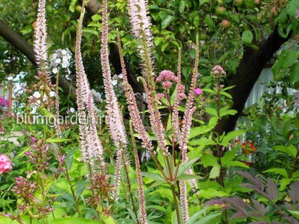 Вероникаструм виргинский Эрика (Veronicastrum virginicum Erica) © blumgarden.ru