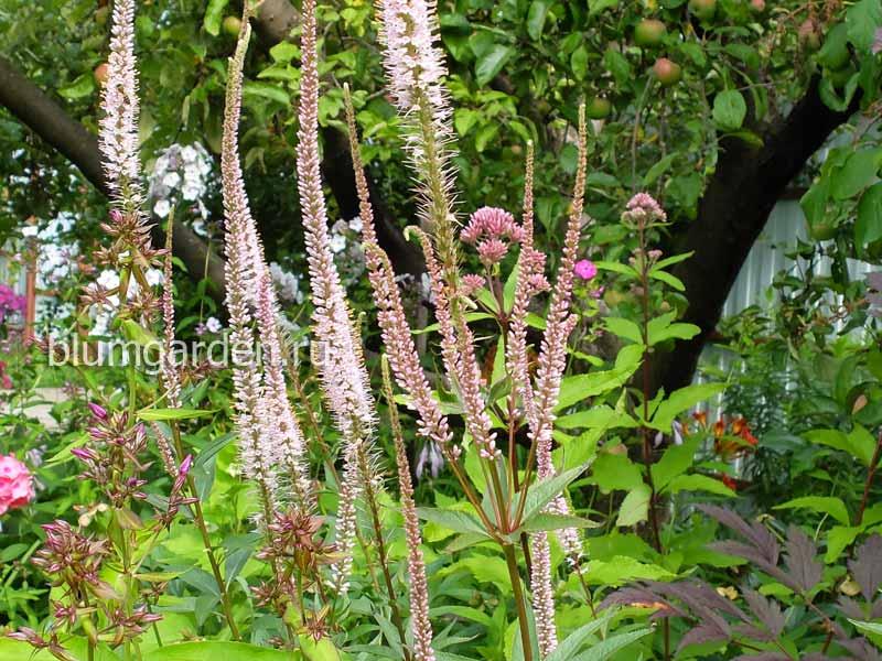 Вероникаструм виргинский «Эрика» (Veronicastrum Virginicum Erica)
