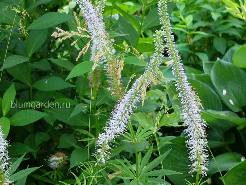 Вероника сибирская, вероникаструм сибирский (Veronicastrum Sibiricum)