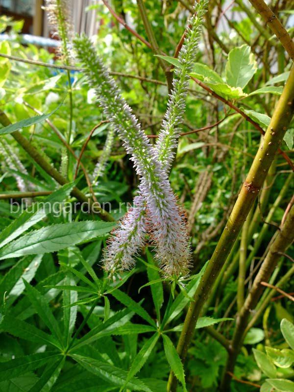 Вероника сибирская, вероникаструм сибирский (Veronicastrum sibiricum) © blumgarden.ru