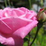 Роза розовая © blumgarden.ru