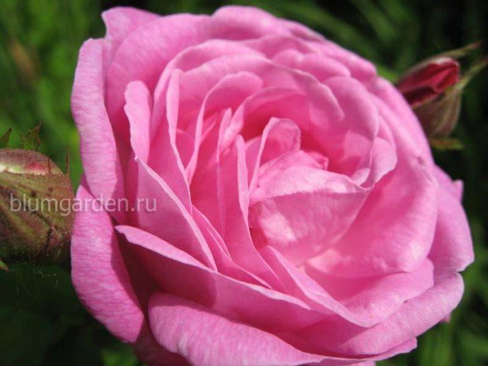 Укоренение роз © blumgarden.ru
