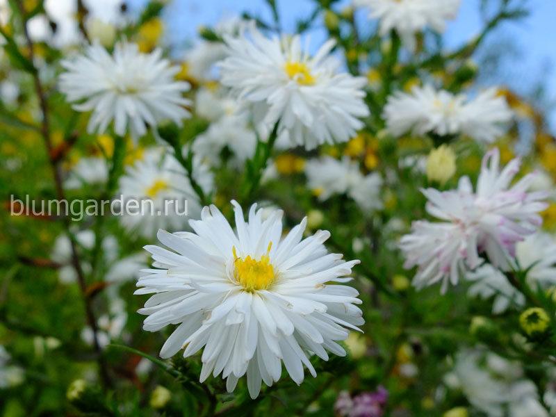 Астра новобельгийская белая Вайт (Aster novi-belgii White) © blumgarden.ru