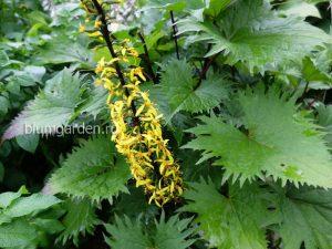 Бузульник узкоголовый «Ракета» (Ligularia stenocephala The Rocket) © blumgarden.ru
