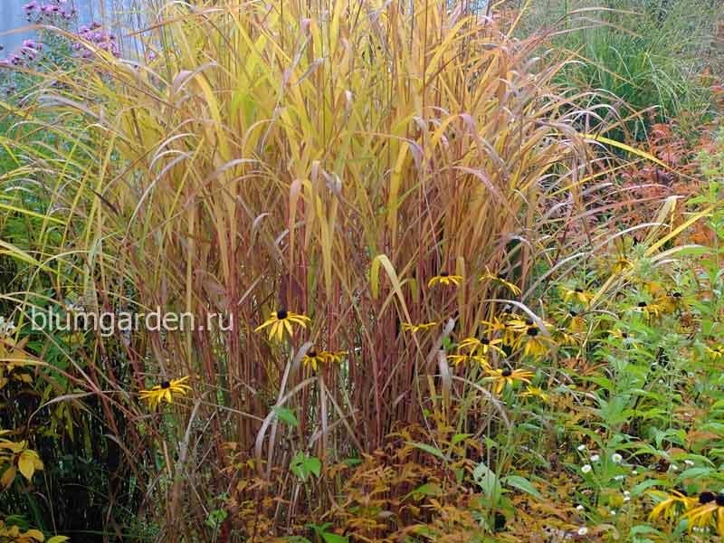 Декоративные злаки и травы - мискантус © Blumgarden.ru