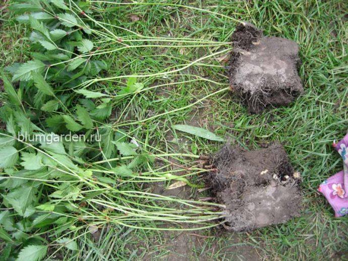 Саженцы (деленки) кустов астильбы для посадки © blumgarden.ru