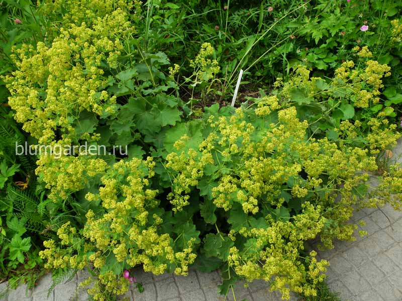 Манжетка мягкая (Alchemilla) © blumgarden.ru