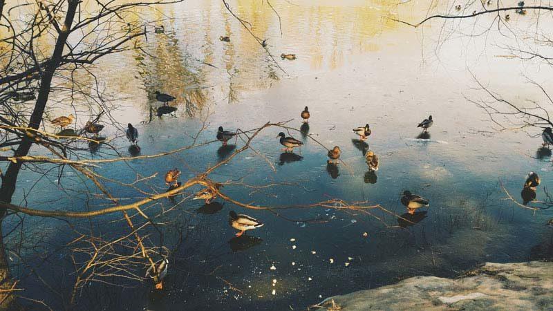 Март - утки на пруду © blumgarden.ru