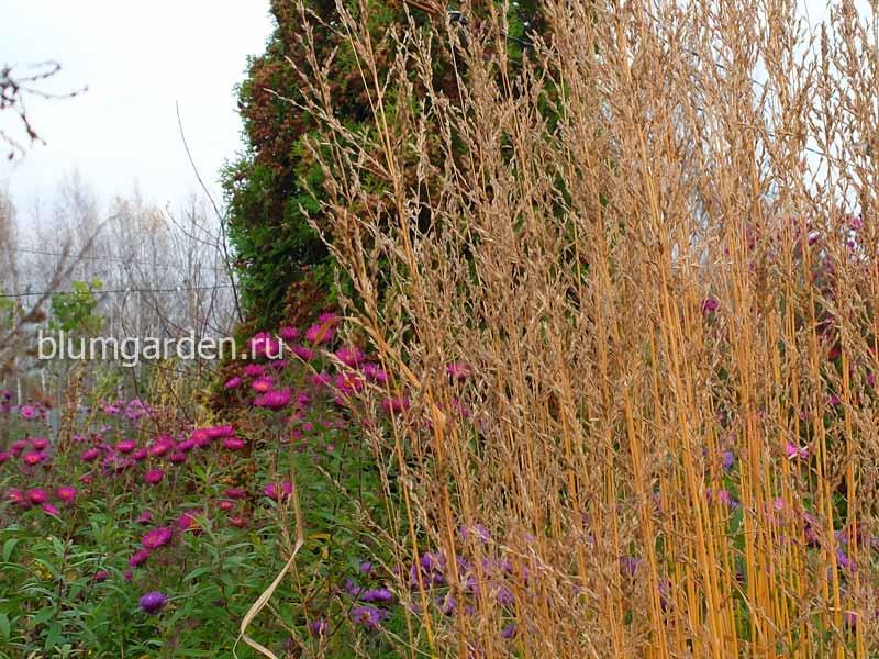 Молиния тростниковая (Molinia Arundinacea)
