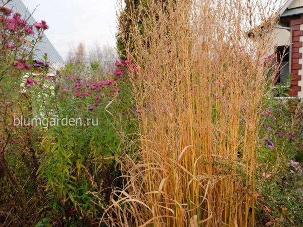 Молиния тростниковая и осенние астры в ландшафте © blumgarden.ru