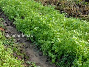 Посев сидератов в апреле © blumgarden.ru