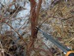Обрезка жимолости съедобной в марте © Blumgarden.ru