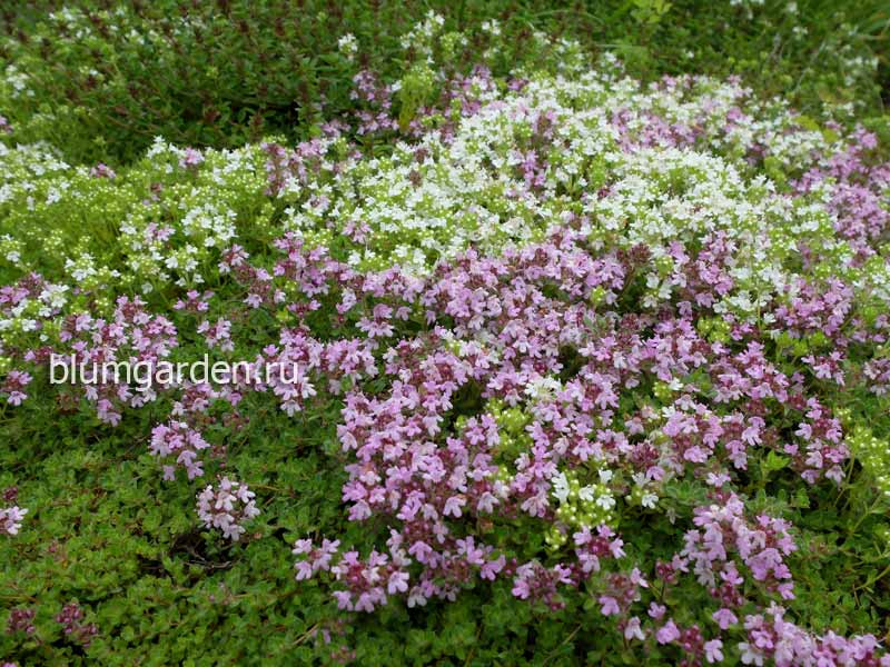 Тимьян ползучий (Thymus)