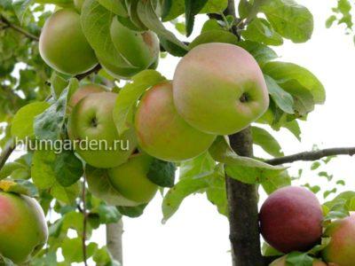 Яблоня Подарок Графскому © blumgarden.ru