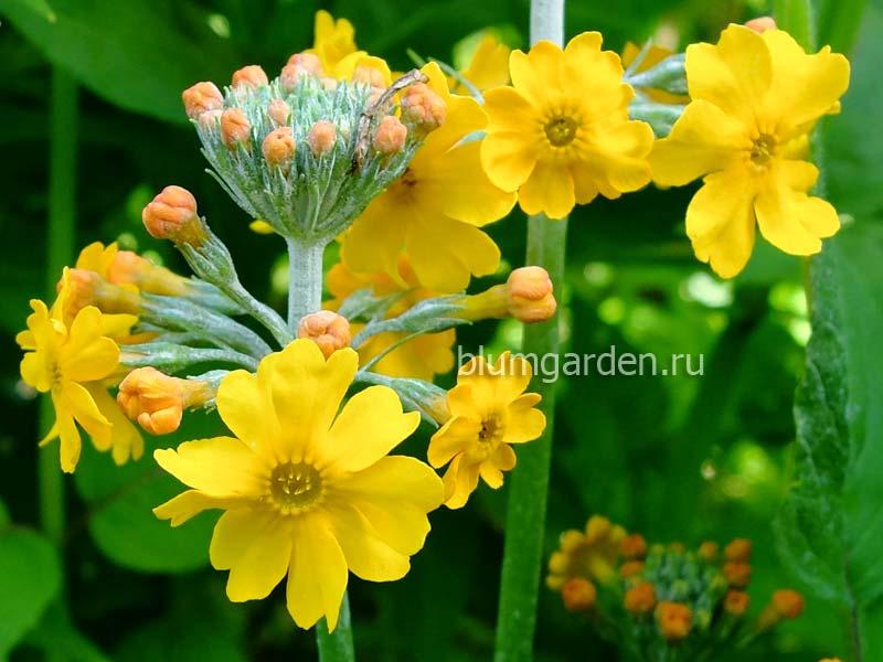 Примула Буллея (Primula bulleyana) - цветок © blumgarden.ru
