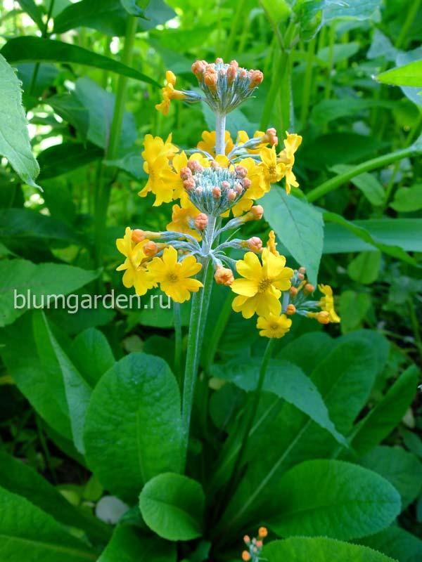 Примула Буллея (Primula bulleyana) - листья и цветы © blumgarden.ru