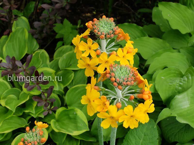 Примула канделябровая Буллея (Primula bulleyana) © blumgarden.ru