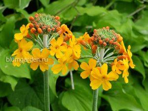 Примула Буллея (Primula bulleyana) © blumgarden.ru