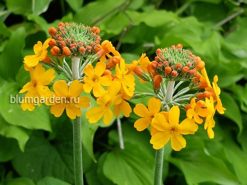 Примула Буллея (Primula Bulleyana)