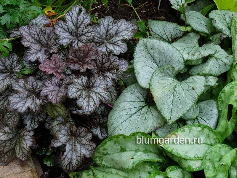 Теневыносливые растения для сада - гейхера, бруннера, медуница © Blumgarden.ru