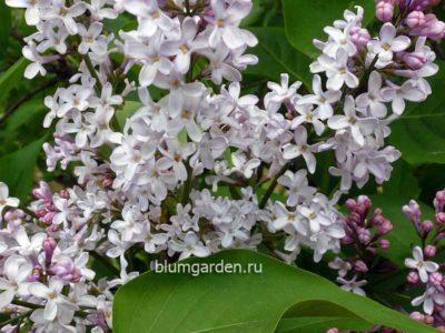 Кусты из питомника сирень обыкновенная бело-розовая © blumgarden.ru