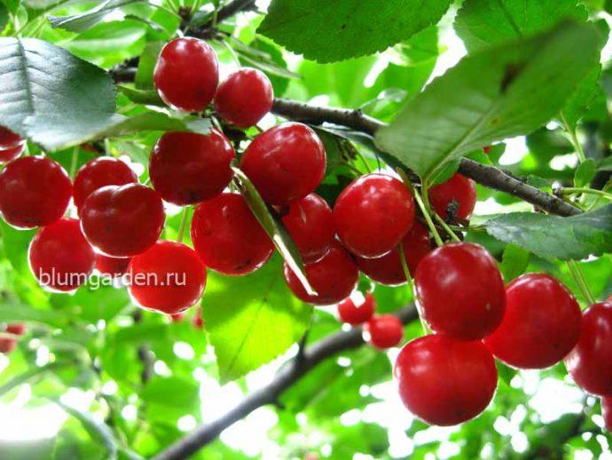 Вишня красная © blumgarden.ru