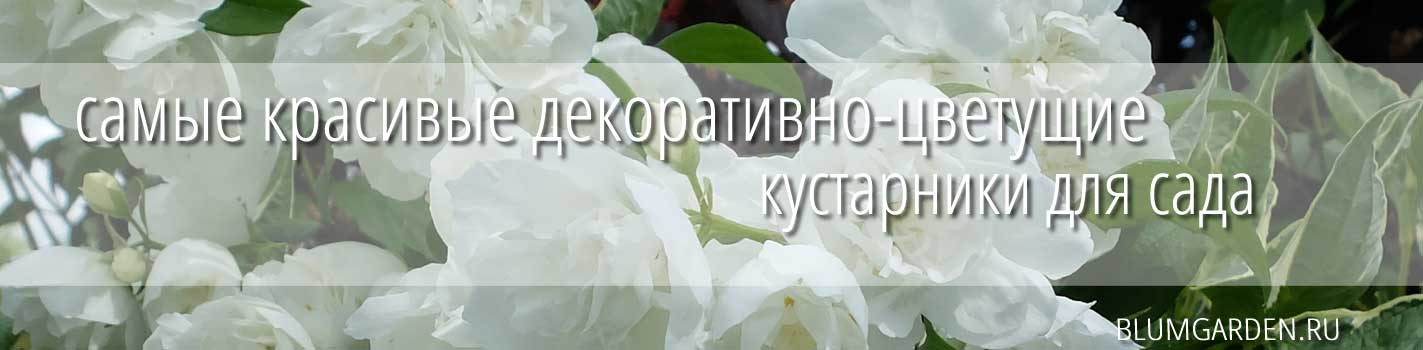 Чубушник махровый © blumgarden.ru