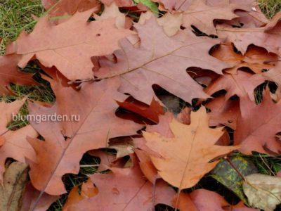Опавшая листва дуба © blumgarden.ru