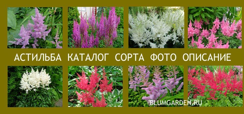 Астильба - каталог сортов с фото © blumgarden.ru