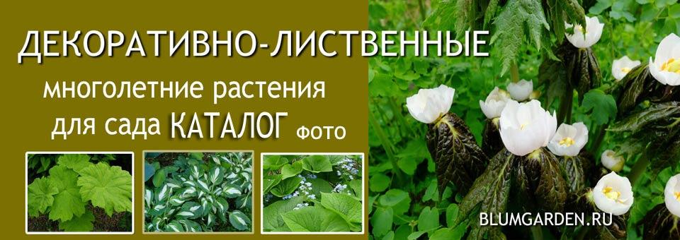 Декоративно-лиственные садовые многолетники © blumgarden.ru