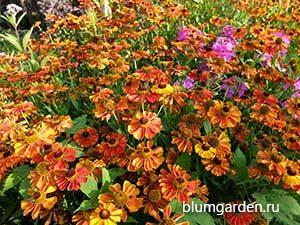 Август - цветет гелениум © blumgarden.ru