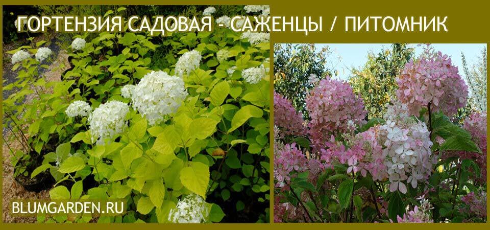 Гортензия садовая © blumgarden.ru