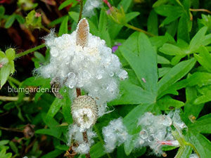 Семена анемоны весенней ветреницы © blumgarden.ru