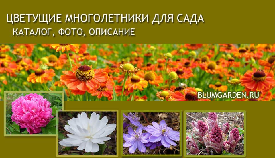 Красиво цветущие многолетники для сада © blumgarden.ru